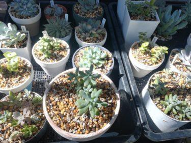初心者でも育てやすいおすすめ多肉植物を解説します