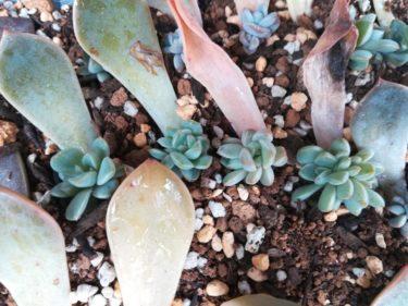 【葉挿し】成長観察:だんだん大きくなってきた葉挿しの状態を見てみましょう