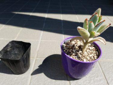 月兎耳を植え替えたよ! 下葉の枯れは植え替えのサインかも!