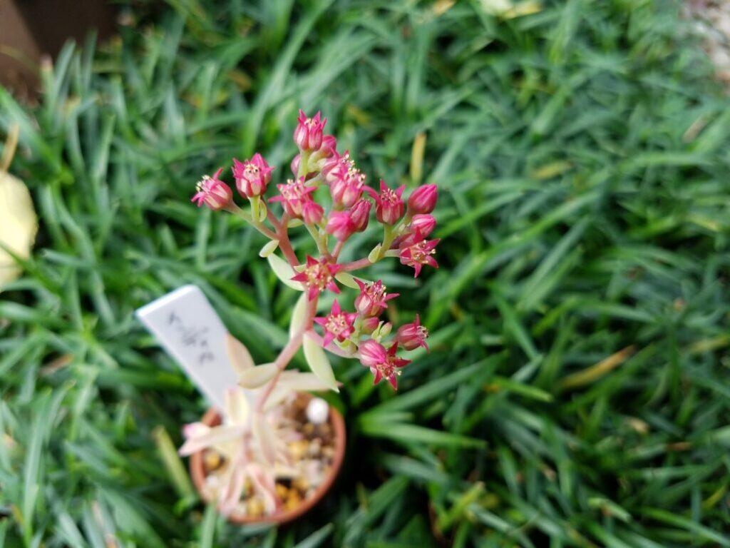 インディカ 花