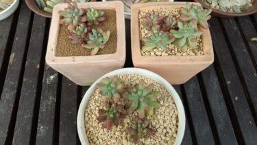 【多肉植物】赤玉土・鹿沼土・2種ブレンドで成長観察!①