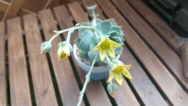 春の楽しみ!我が家の多肉植物の「花」をお届け