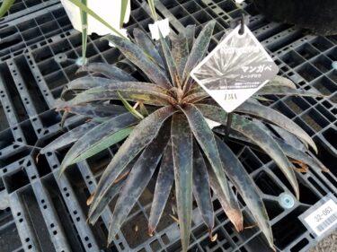 【マンガベ】マンフレダとアガベの交配種マンガベとは? 注目の多肉植物を解説